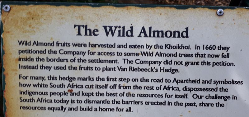 2017-12-13 wild almond hedge