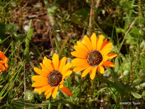 Namaqualand Daisy (2)